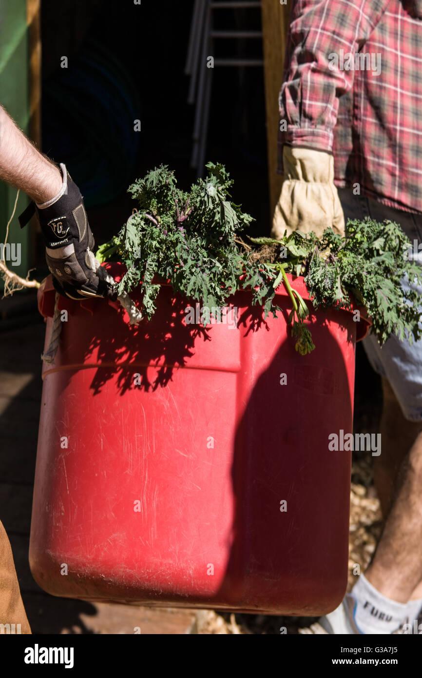 Zwei Männer tragen Gartenabfälle (Kale), bereitet es in kleine Stücke in Vorbereitung für die Stockbild