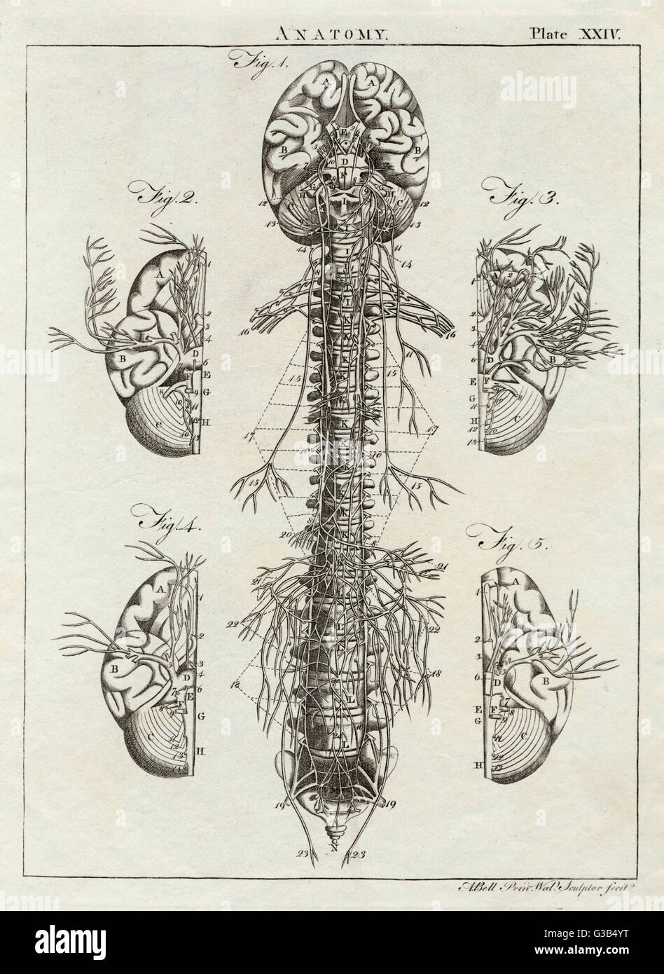 Detaillierte Darstellung des Gehirns und der Wirbelsäule Datum: 1768 Stockbild