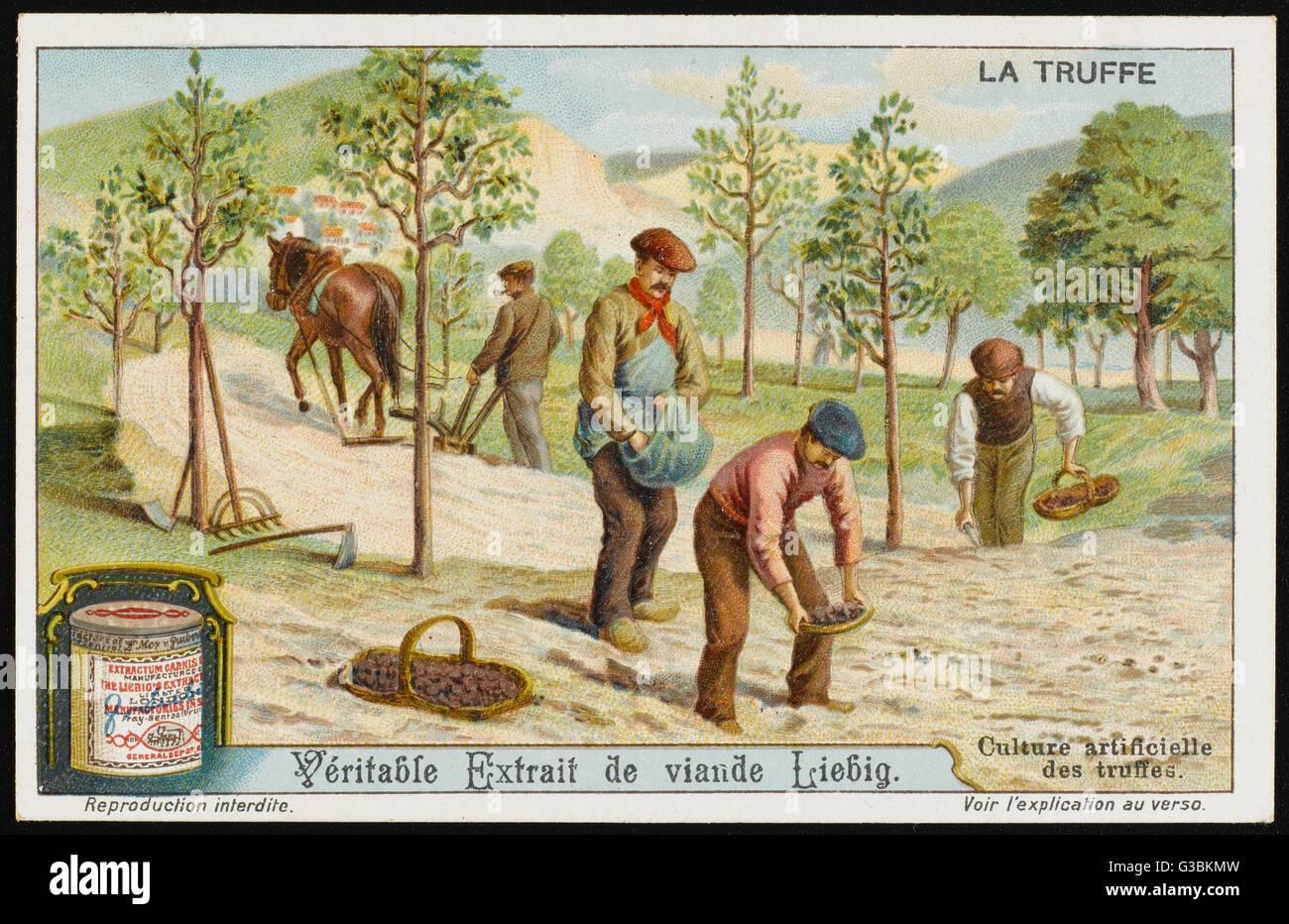 Obwohl Trüffel normalerweise natürlich wachsen, können sie kultiviert künstlich, wenn geeignete Stockbild
