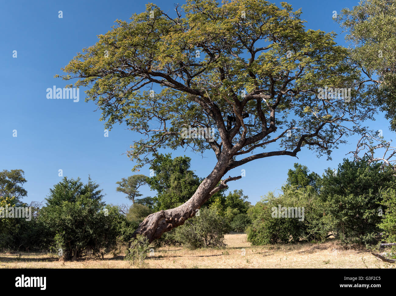 Teakbaum  Afrikanische Teak-Baum auf die Sambesi-Game-Drive in Simbabwe ...