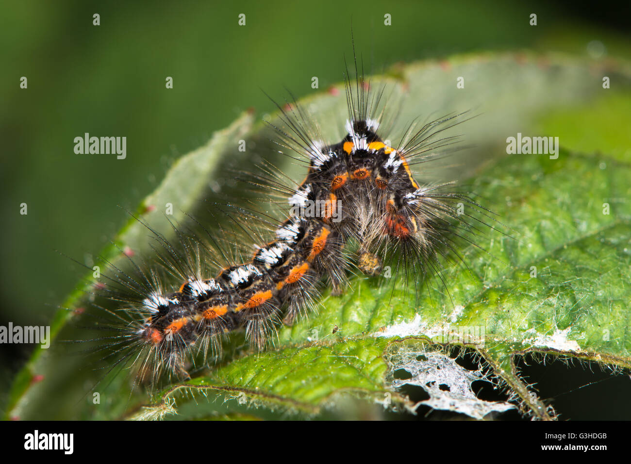 Gelb-Tail Motte (Euproctis Similis) Raupe. Larve der Motte in der Familie Erebidae (ehemals Lymantriidae) bedeckt Stockbild