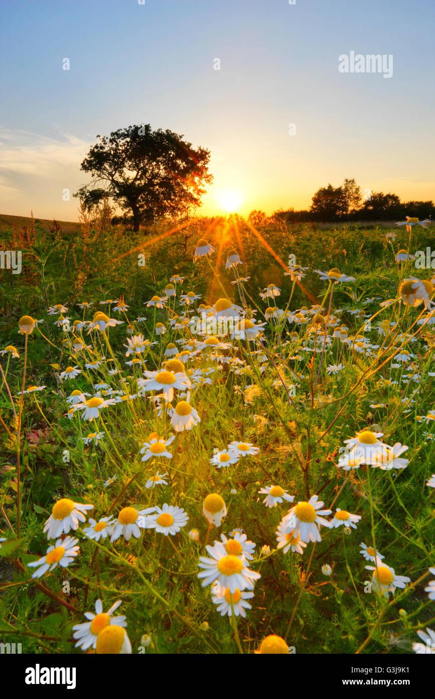Kamillenblüten bei Sonnenuntergang, Natur-Landschaft Stockbild