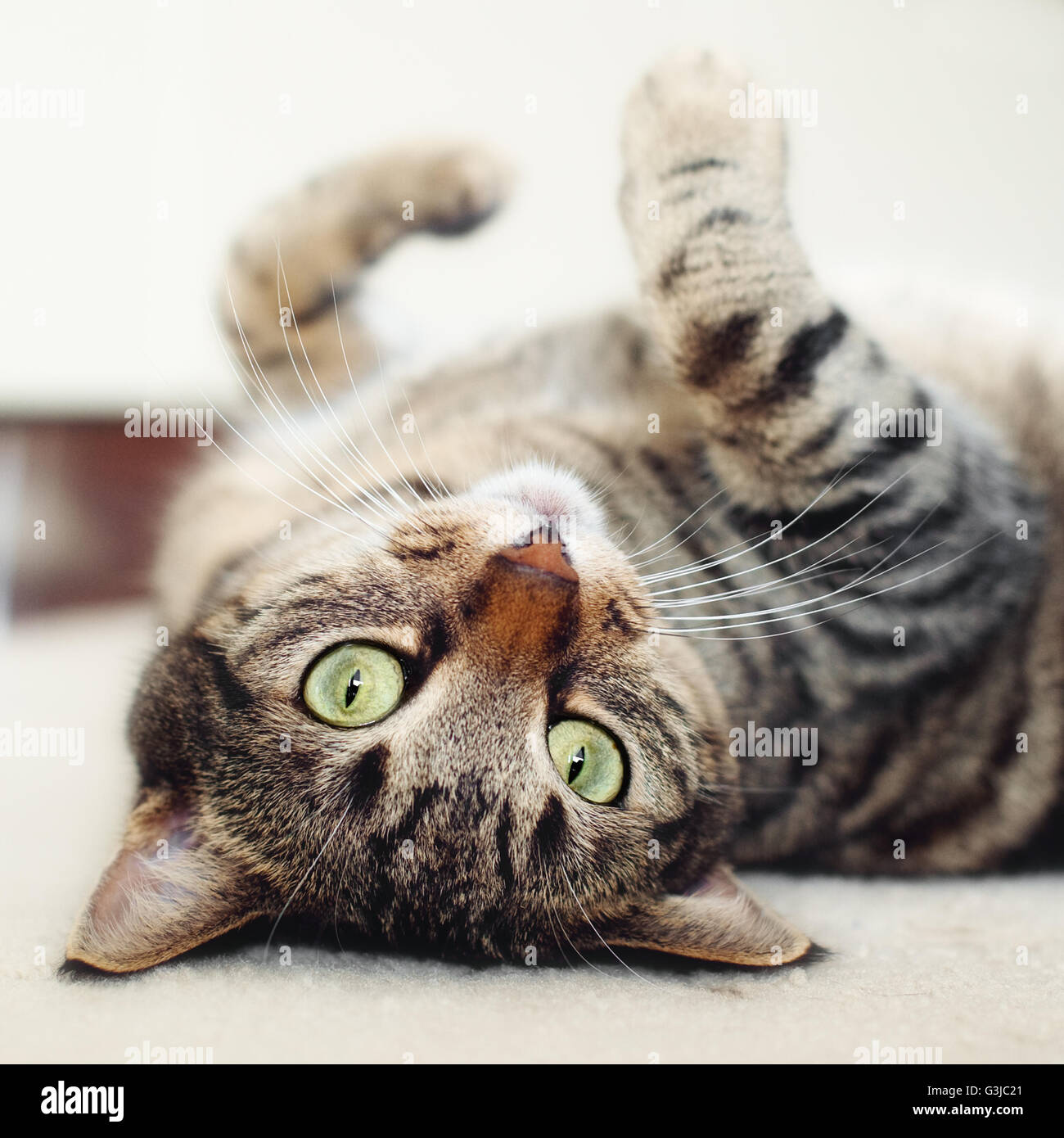 Tabby Katze auf Rücken liegend Stockfoto
