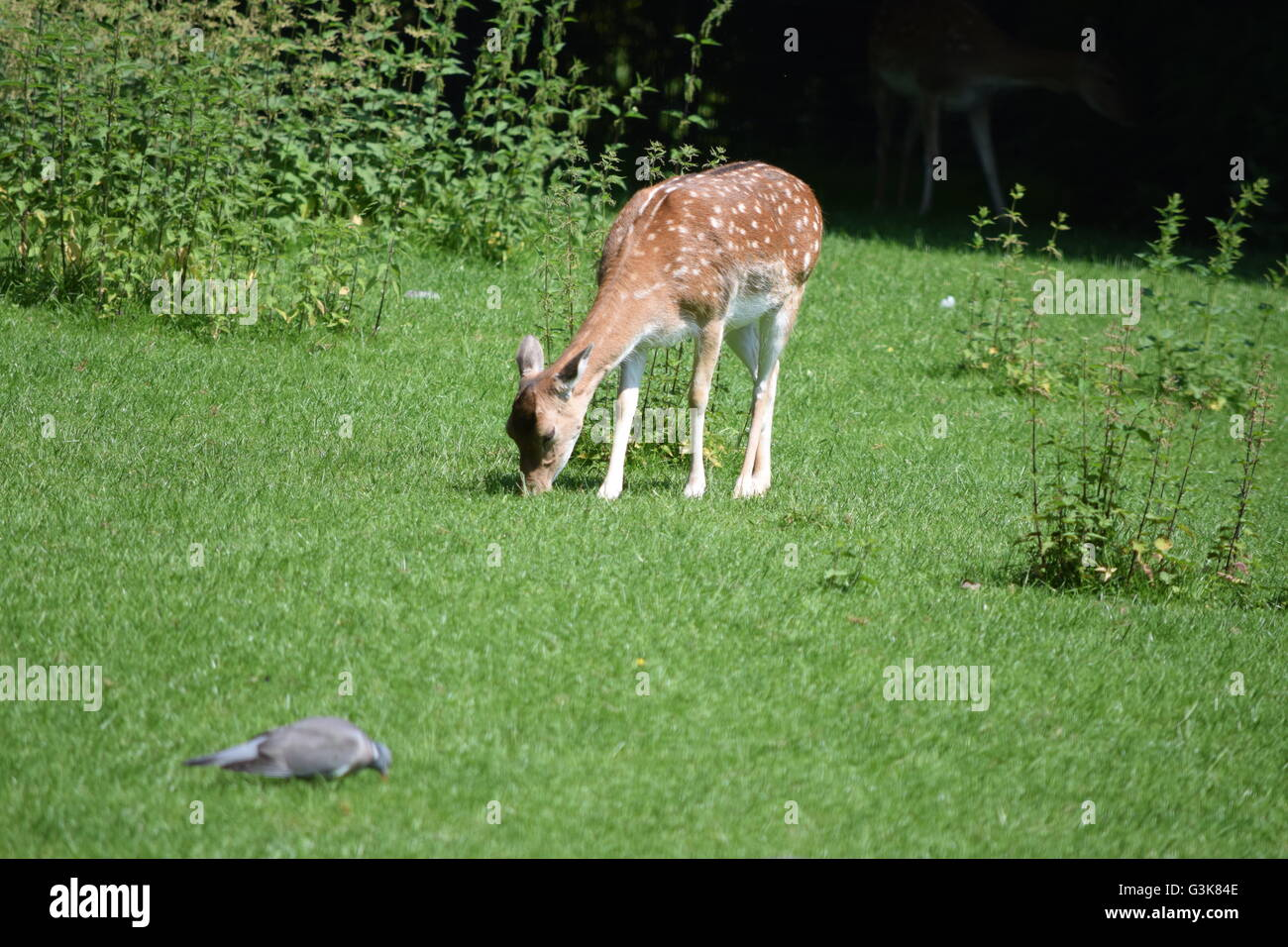 Hirsche in den park Stockbild