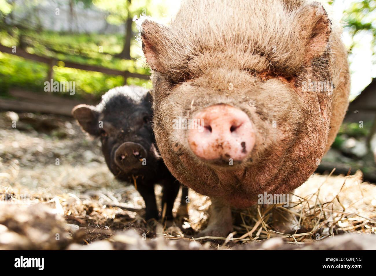 Hängebauchschwein, Erwachsener und Ferkel, Ernstbrunn Zoo, Niederösterreich, Österreich Stockbild