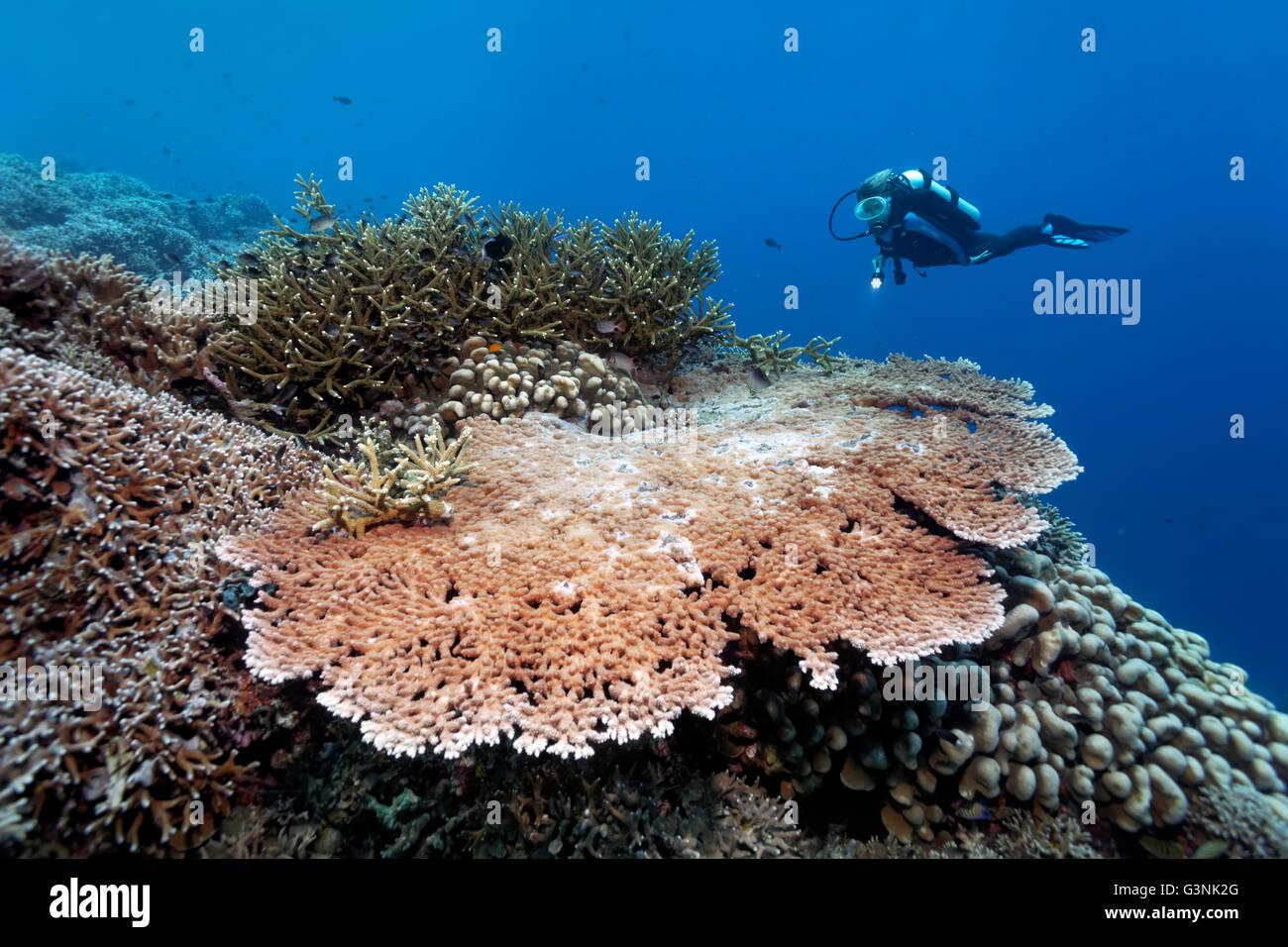 Taucher über dem Korallenriff, verschiedene Steinkorallen (Hexacorallia), Wakatobi Insel, Indonesieren Archipel, Stockbild