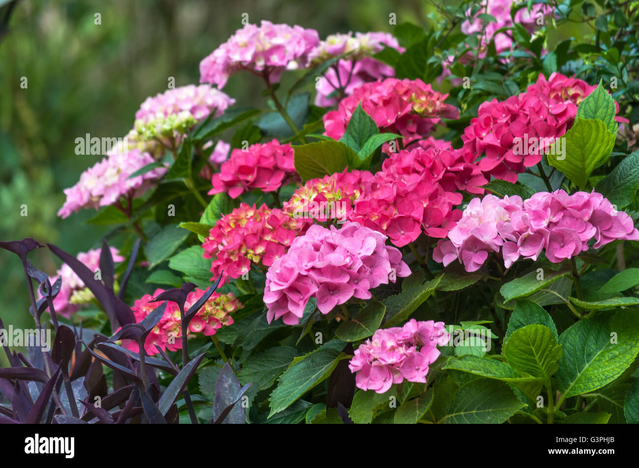 pink hydrangea blossom flower fresh stockfotos pink hydrangea blossom flower fresh bilder alamy. Black Bedroom Furniture Sets. Home Design Ideas