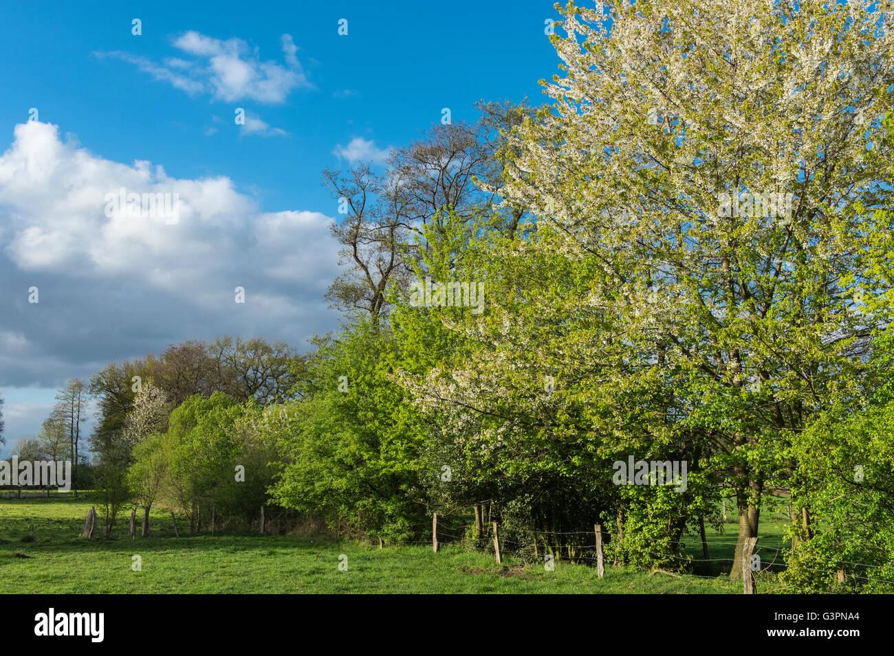 blühende Hecke und grüne Weide, Landkreis Vechta, Oldenburger Münsterland, Niedersachsen, Deutschland Stockbild