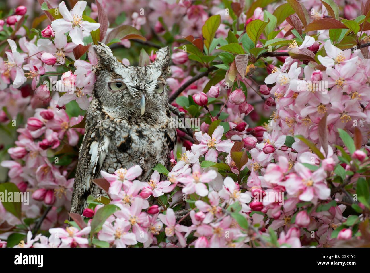 Ost- oder gemeinsame Screech Eule Otus Asio, graue Phase, sitzen in blühender Apfelbaum, im Osten der USA Stockbild