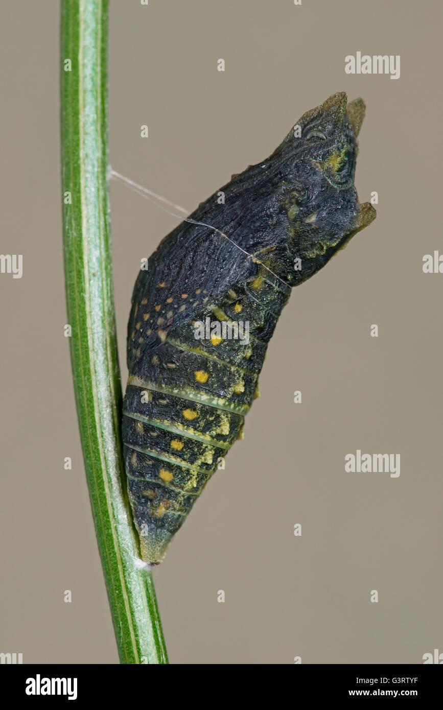 Pupa Spätstadium des östlichen Nordamerika E schwarz Schwalbenschwanz Schmetterling (Papilio Polyxenes) Stockbild