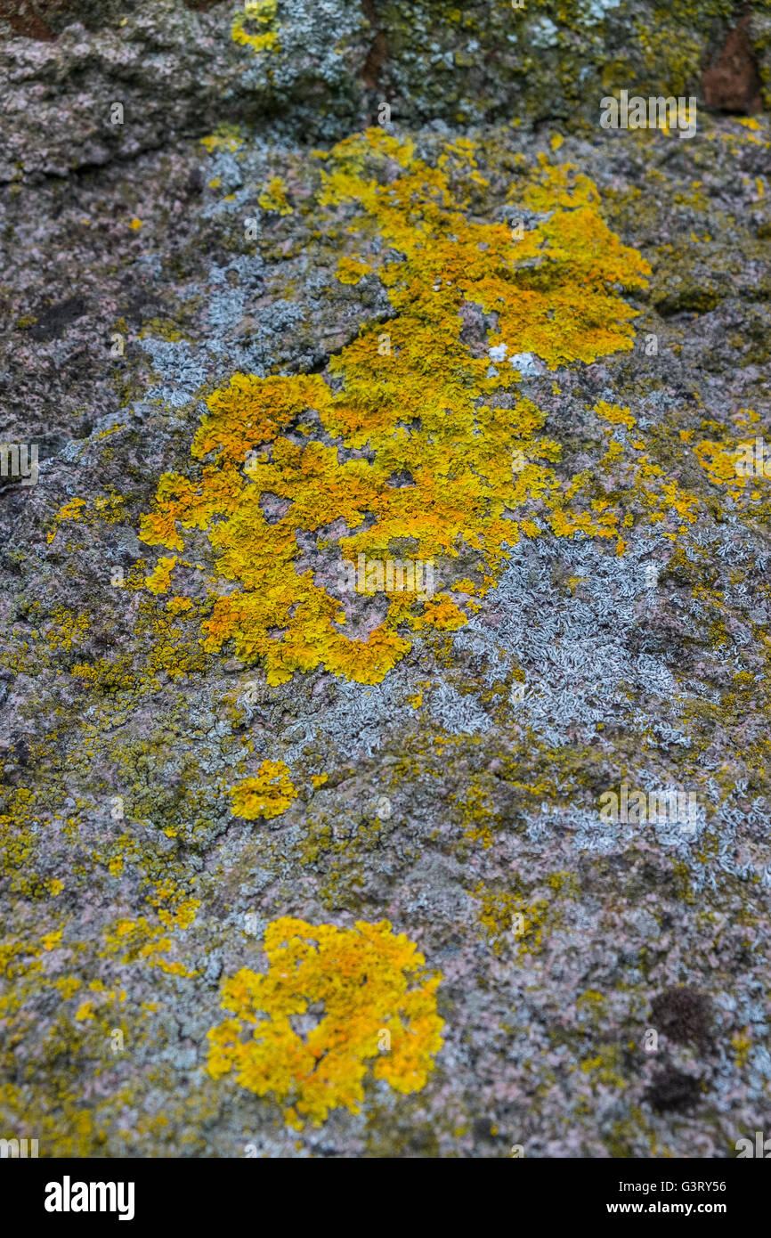 Xanthoria Aureola Orange gelbe Flechten Rock uk Stockbild