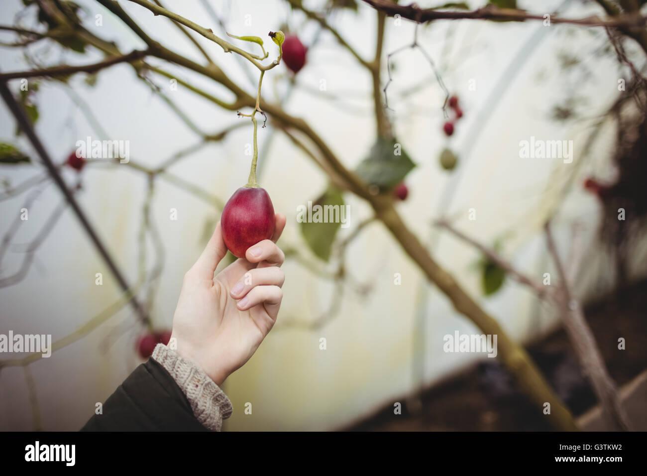 Beschnitten, Hipster Menschenbild Kommissionierung eine Pflaume Stockbild