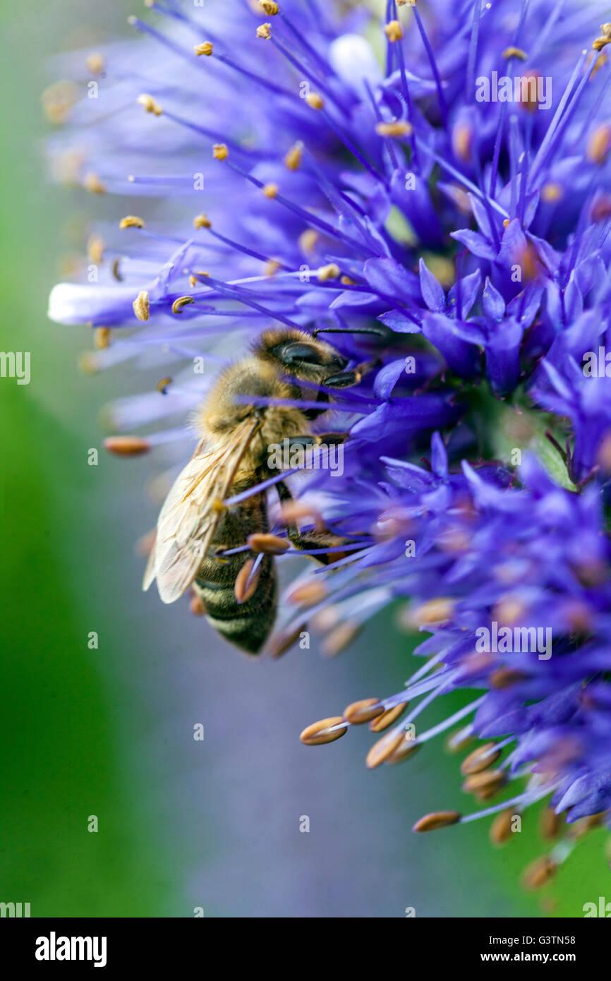 Vernicastrum sachalinense, Biene auf Blume Stockbild
