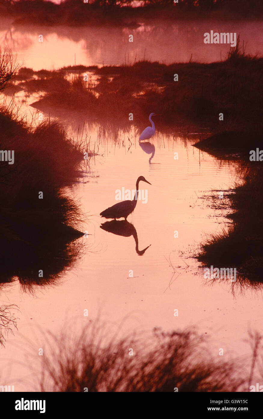 Great Blue Heron bei Sonnenaufgang; Chincoteague National Wildlife Refuge; Assateague Island; Virginia; USA Stockbild