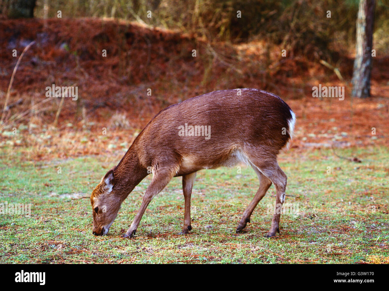 Sika Rotwild (Cervus Nippon); Chincoteague National Wildlife Refuge, Assateague Island, Virginia, USA Stockbild