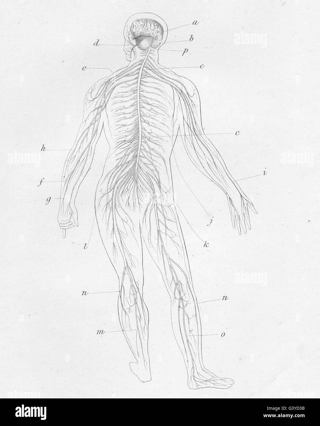 Anatomie: Nervensystem des Menschen, antike print 1800 Stockfoto ...
