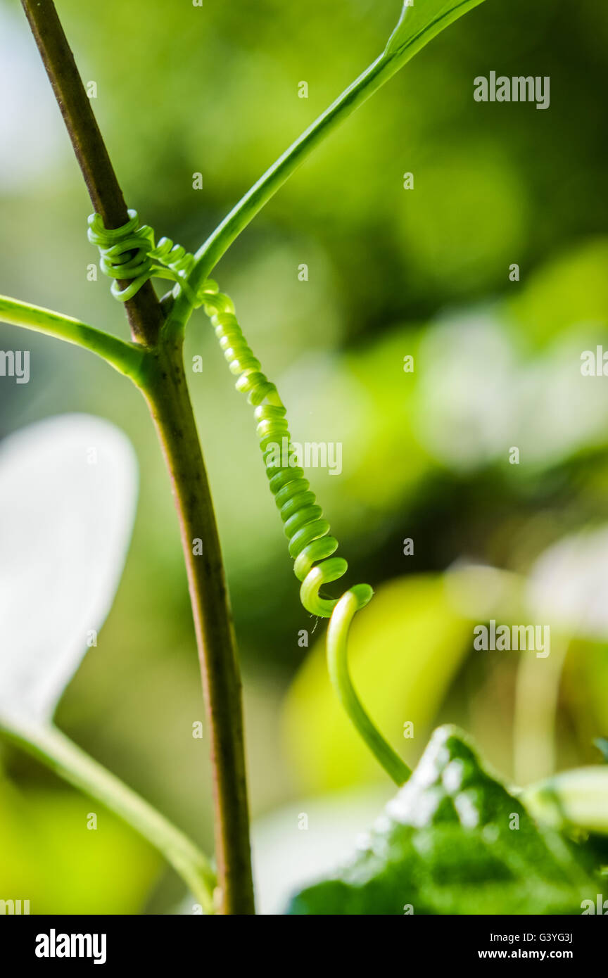 Schlingpflanze Ranke hält einen Zweig Stockbild