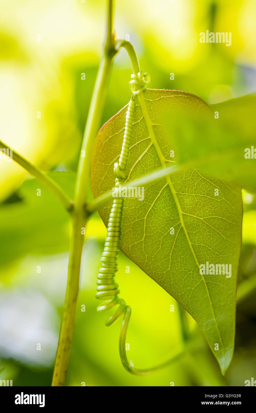 Ranke einer Schlingpflanze Anlage hält ein Blatt Stockbild