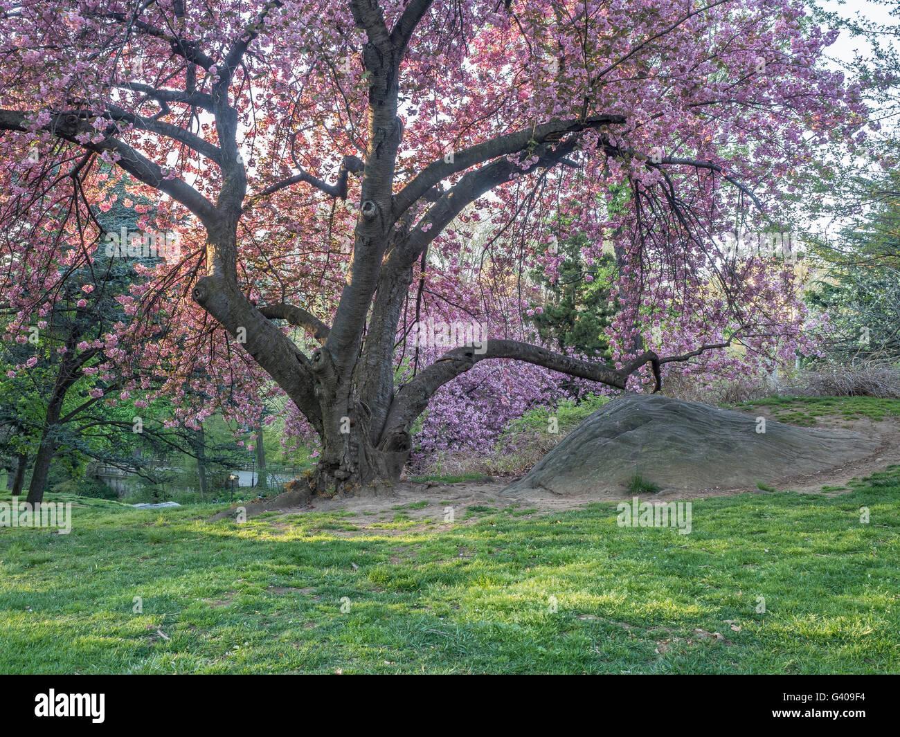 Prunus Serrulata oder japanische Kirsche; auch als Cherry Hill, ist orientalische Kirsche oder ostasiatische Kirsche Stockfoto