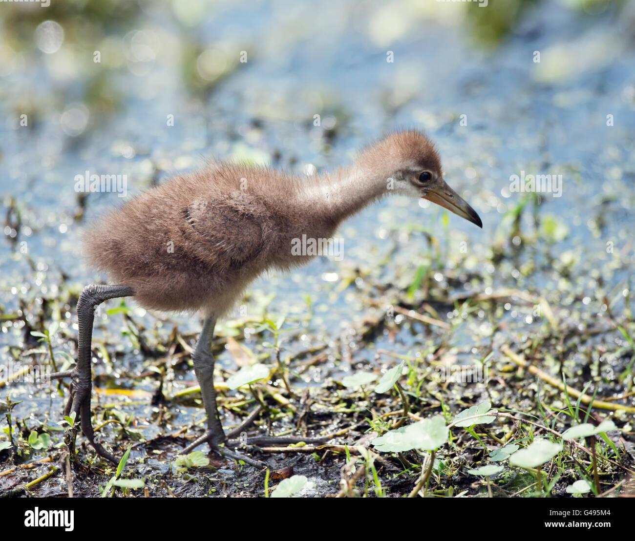 Limpkin Küken in Florida Wetlands Stockbild