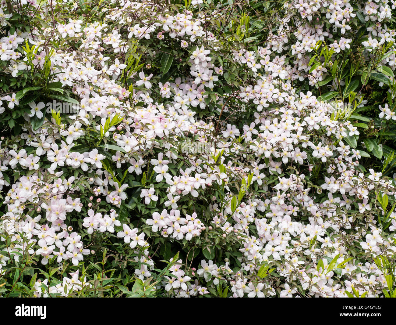 Clematis 'Pink Perfektion', über ein Strauch Blüte Stockbild