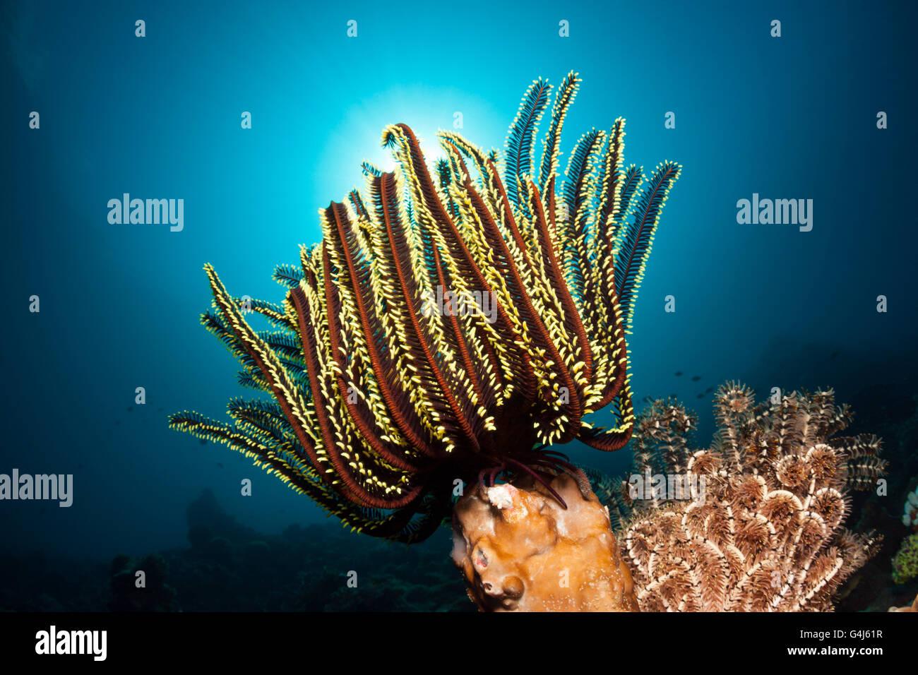 Peitschenkorallen im Korallenriff, Oxycomanthus Bennetti, Ambon, Molukken, Indonesien Stockfoto