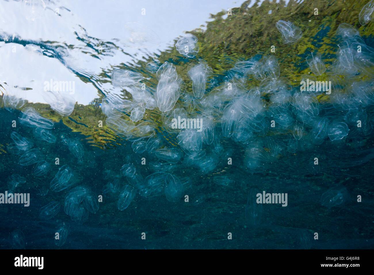 Aggregation der Mond Qualle, Aurelia Golden, Raja Ampat, West Papua, Indonesien Stockfoto