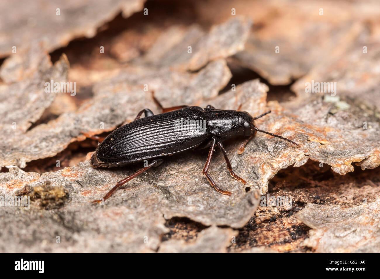 Eine falsche Hologramm-Käfer (Melandrya Striata) hockt auf der Rinde eines gefallenen Toten Baumes. Stockbild