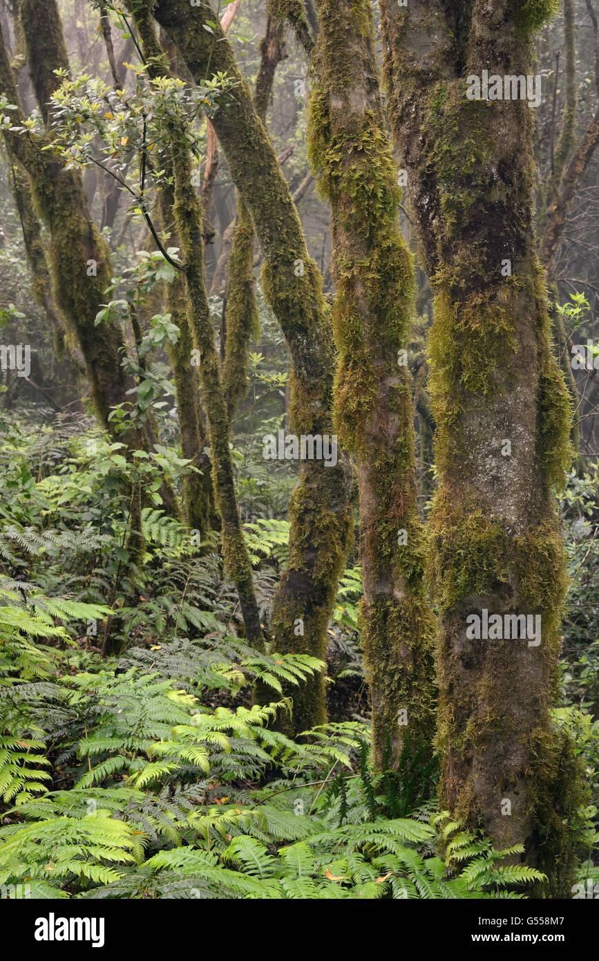 Moos bedeckte Bäume und dichten Unterwuchs von Farnen in montane, Wolke gehüllt Lorbeerwald, Anaga-Gebirge, Stockbild
