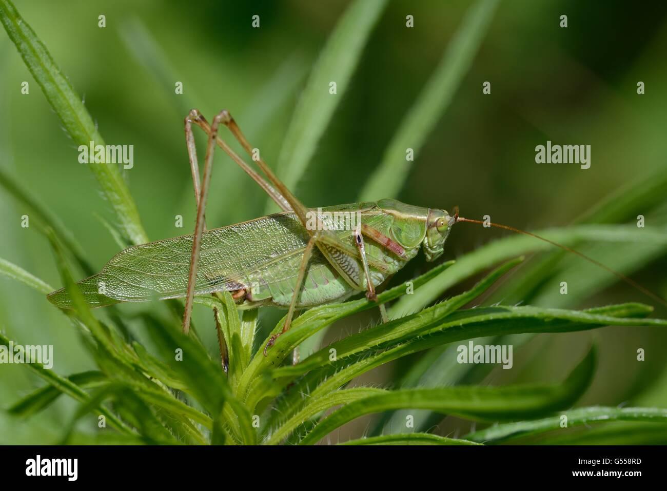 Grüne Grashuepfer Stockbild