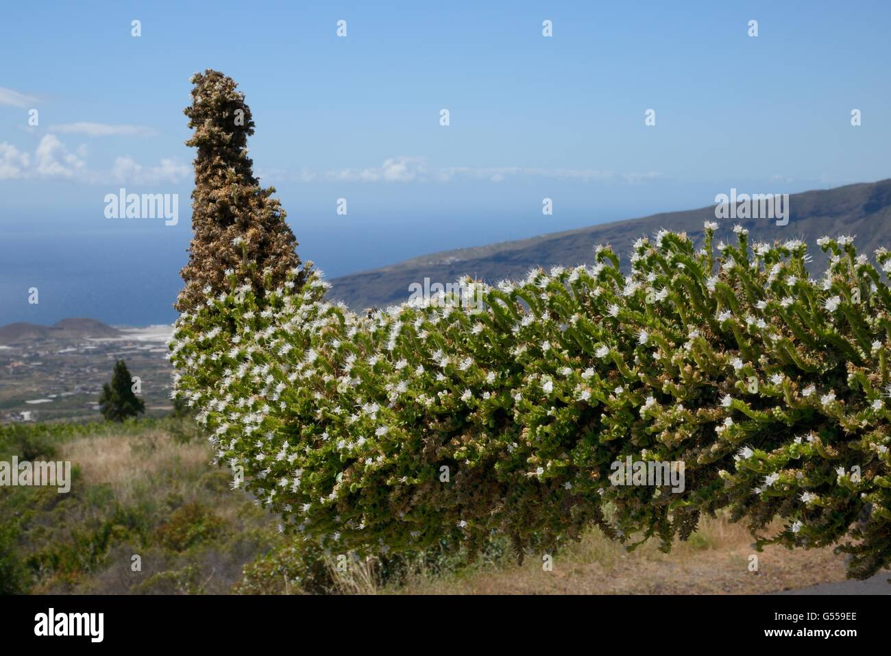 Weiße Echium / weißer Turm der Juwelen (Echium Simplex) am Berghang, Teneriffa, Kanarische Inseln, Mai Stockbild