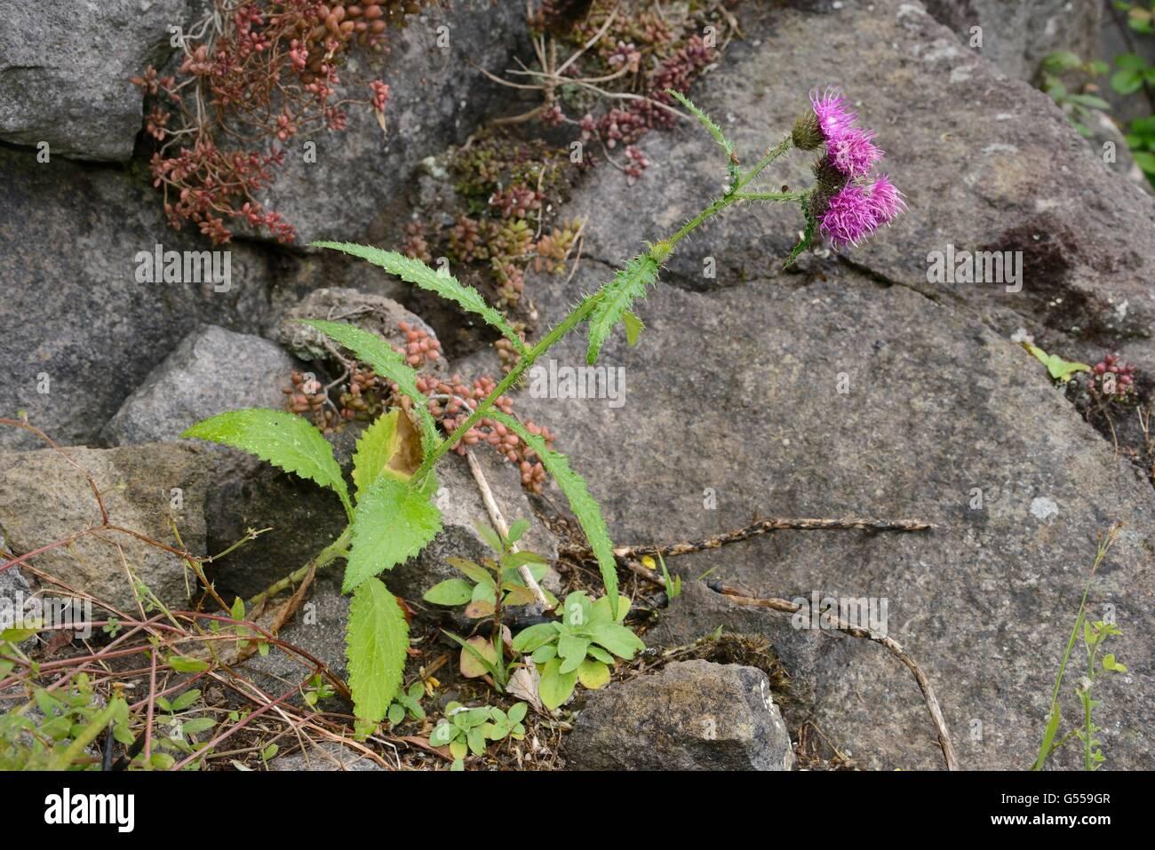 Monteverde Distel / Cardo de Monteverde (Blütenstandsboden Clavulatus), einem Kanarischen Inseln endemisch, Stockbild