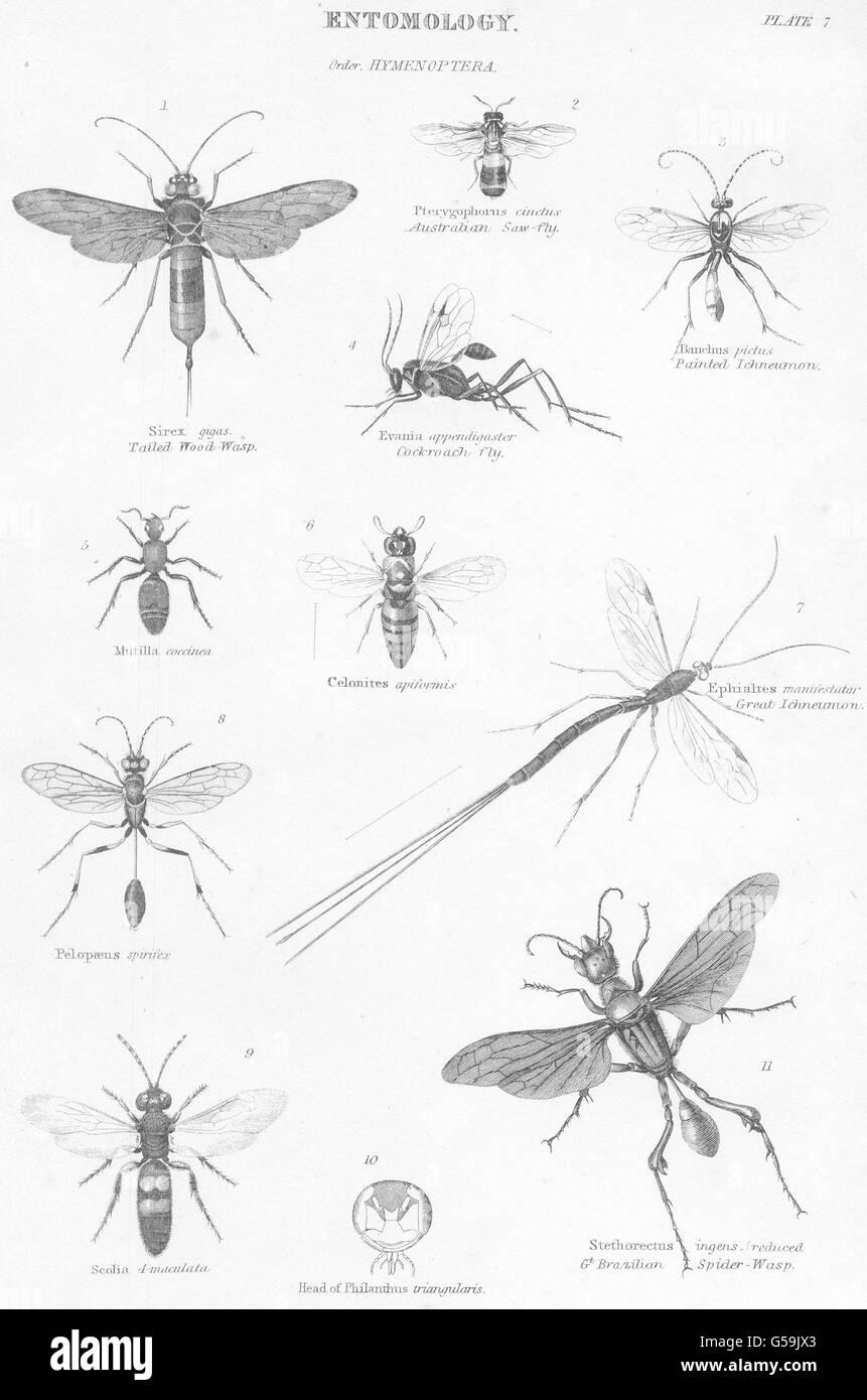 entomologie hautfl gler australische s ge fly lierten holz wespe schabe 1860 stockfoto. Black Bedroom Furniture Sets. Home Design Ideas