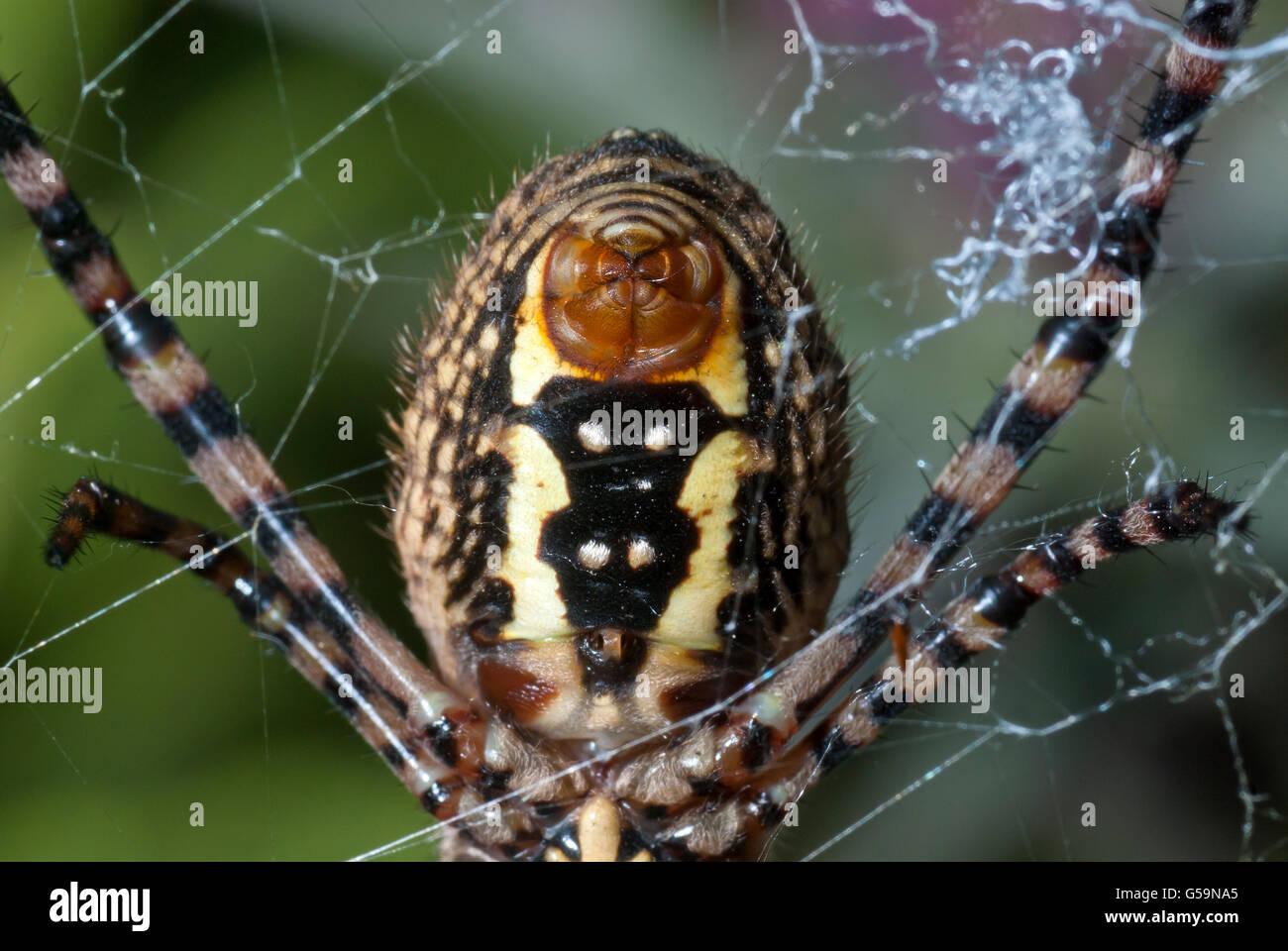 Spinne, hautnah auf der Web-Orgel - Spinndrüse Stockbild