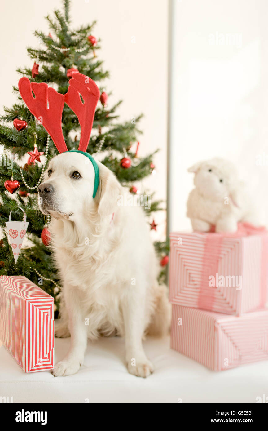 Golden Retriever mit Elch Geweih auf dem Kopf und mit Weihnachten ...