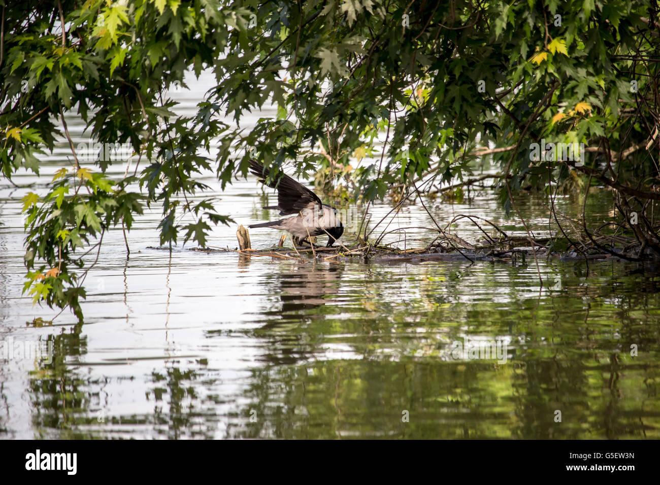 Donau, Serbien - mit Kapuze Krähe (Corvus Cornix) stehend auf einem untergetauchten Ast Stockbild