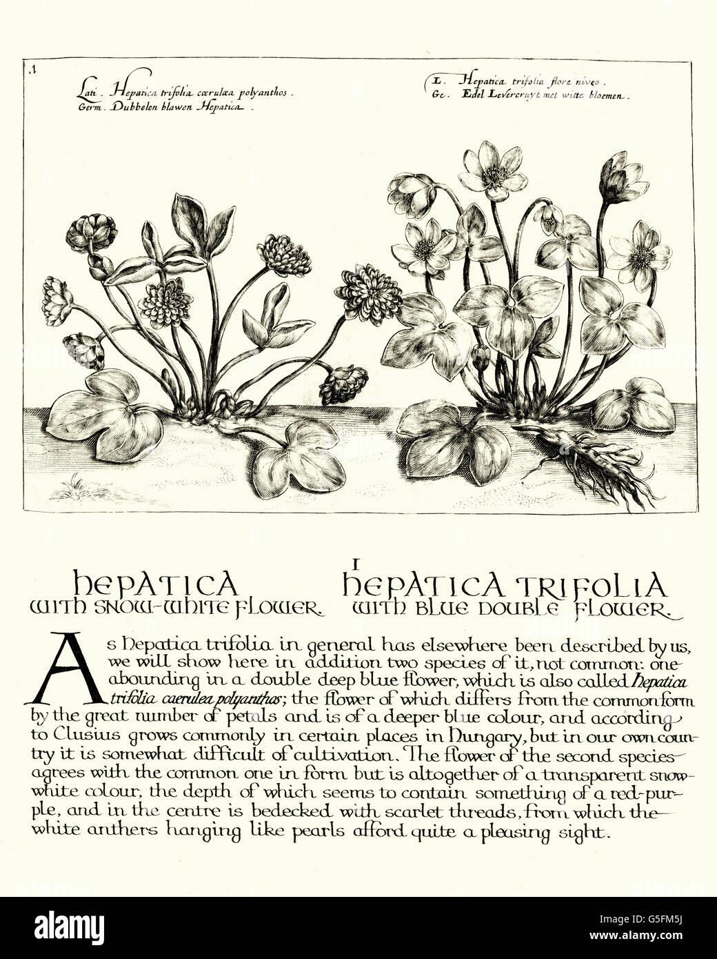 Vintage Gravur Leberblümchen, eine Gattung der Stauden in der Familie Butterblume Hortus Floridus, Crispin Stockbild