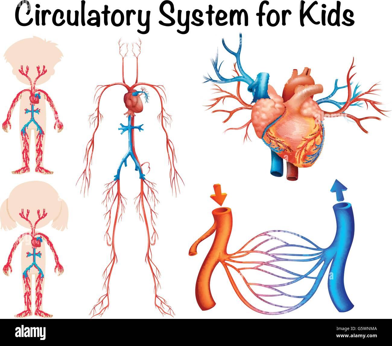 Herz-Kreislauf-System für Kinder-illustration Vektor Abbildung ...