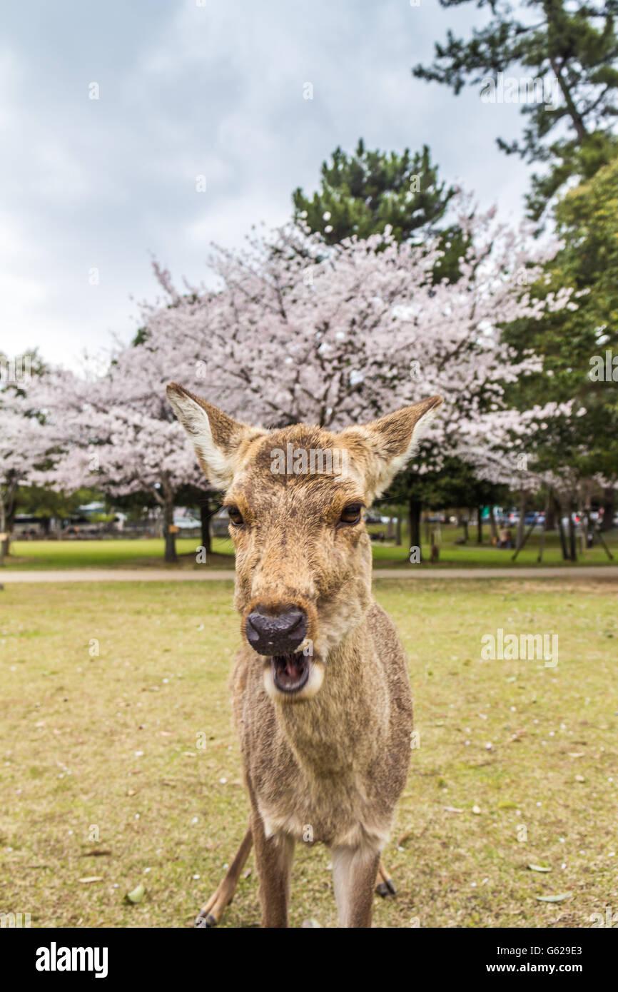 Zahme Rehe in Nara, Japan Stockbild