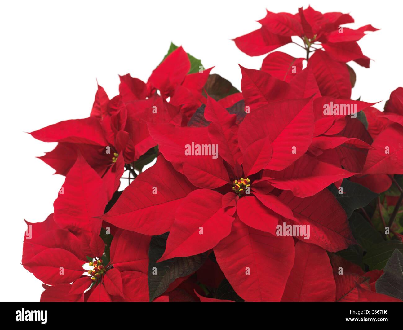 Weihnachtsstern (Euphorbia Pulcherrima), rote Weihnachten Blume ...