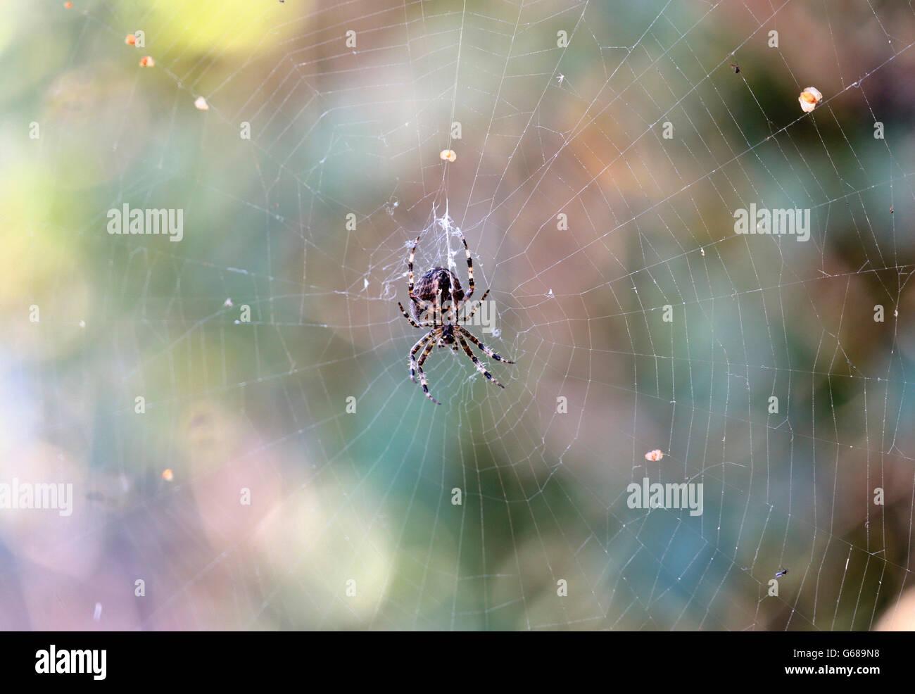 Eine Kreuzspinne in seinem Netz Stockbild
