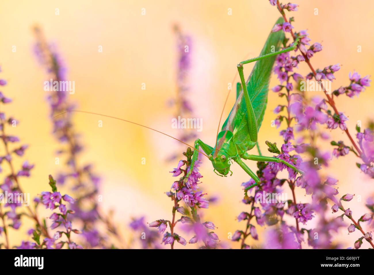 Große grüne Bush-Cricket, Deutschland / (Tettigonia Viridissima) Stockbild