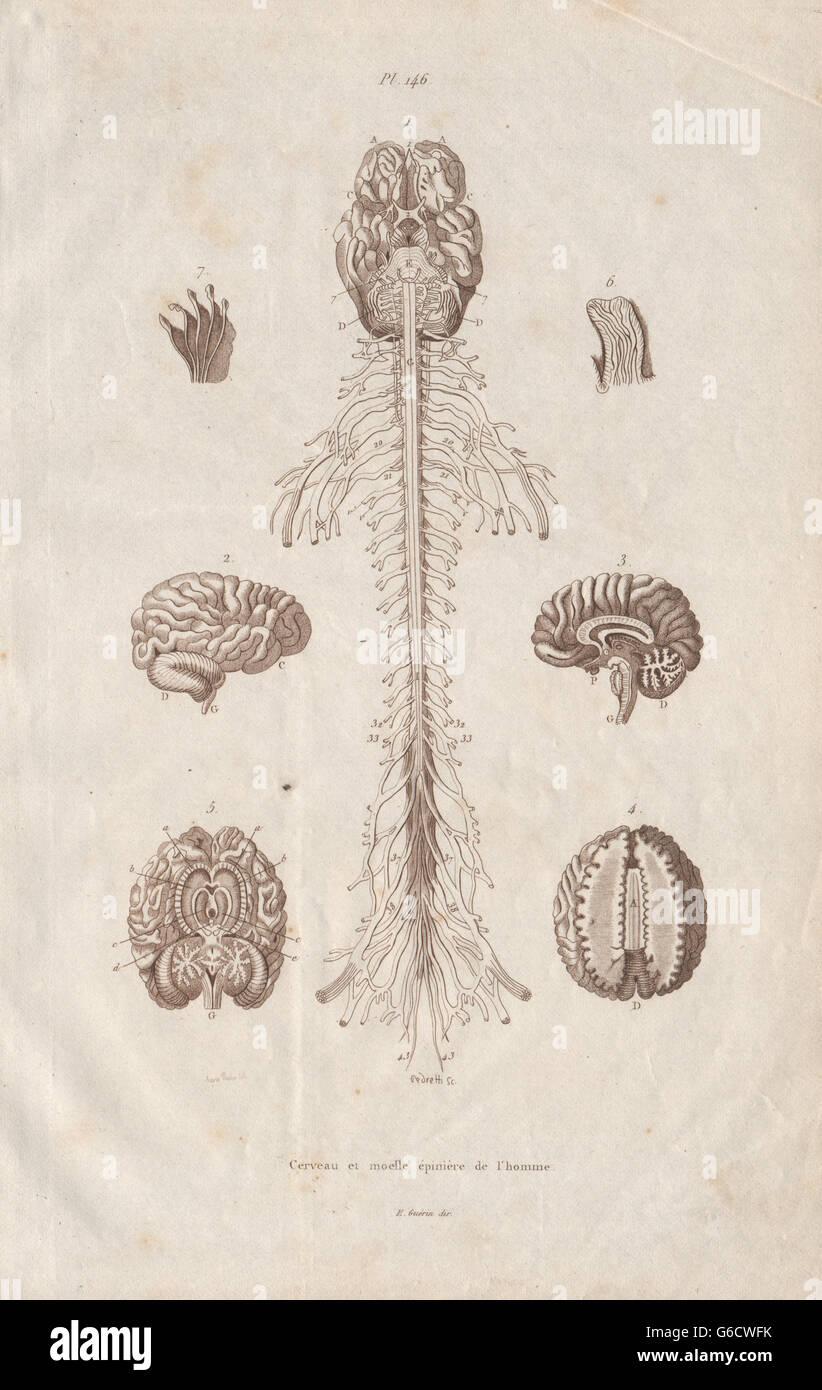 Anatomie: Gehirn und Rückenmark, antiken Drucken 1833 Stockfoto ...