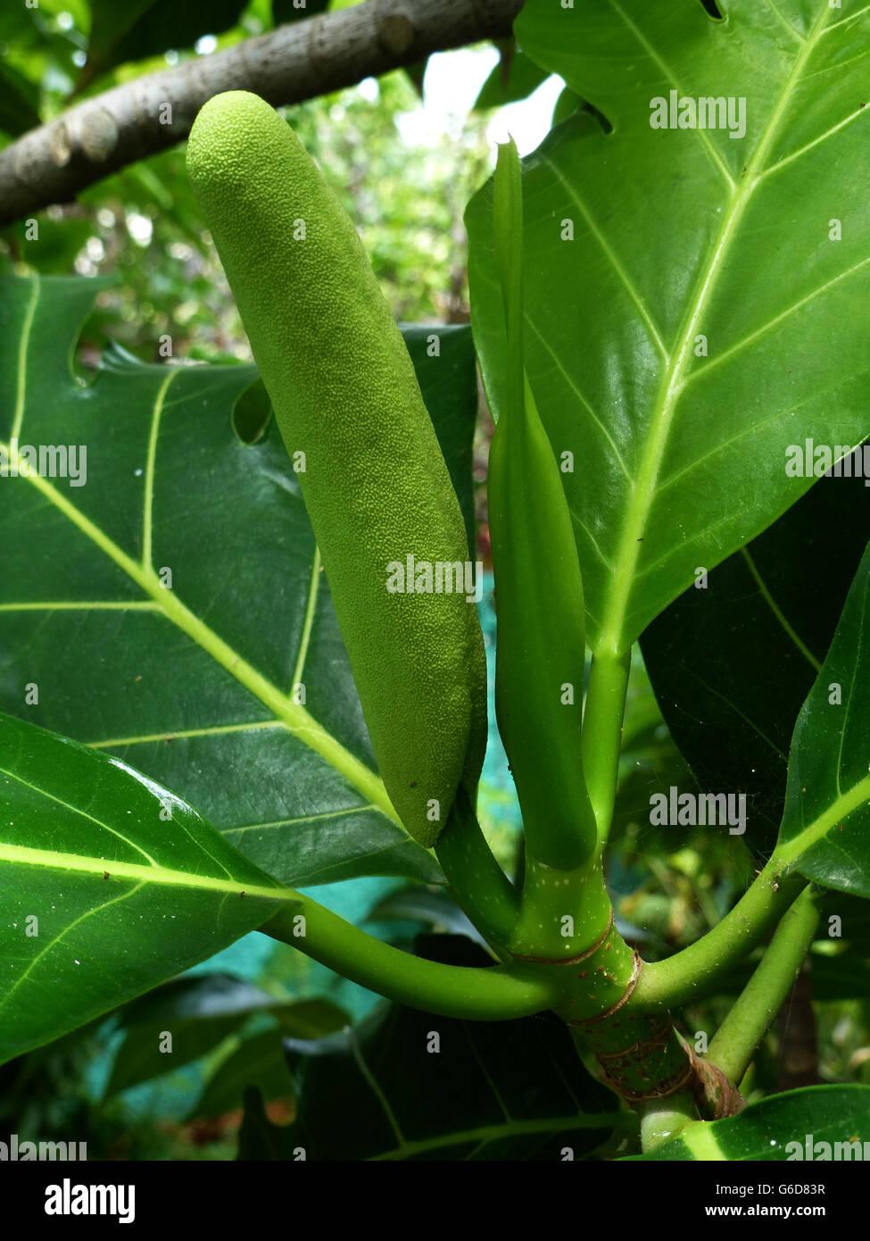 Brotfrucht auf einem Baum, Grundnahrungsmittel Diät für Jamaikaner... Sehr beliebt bei vielen standard Stockbild