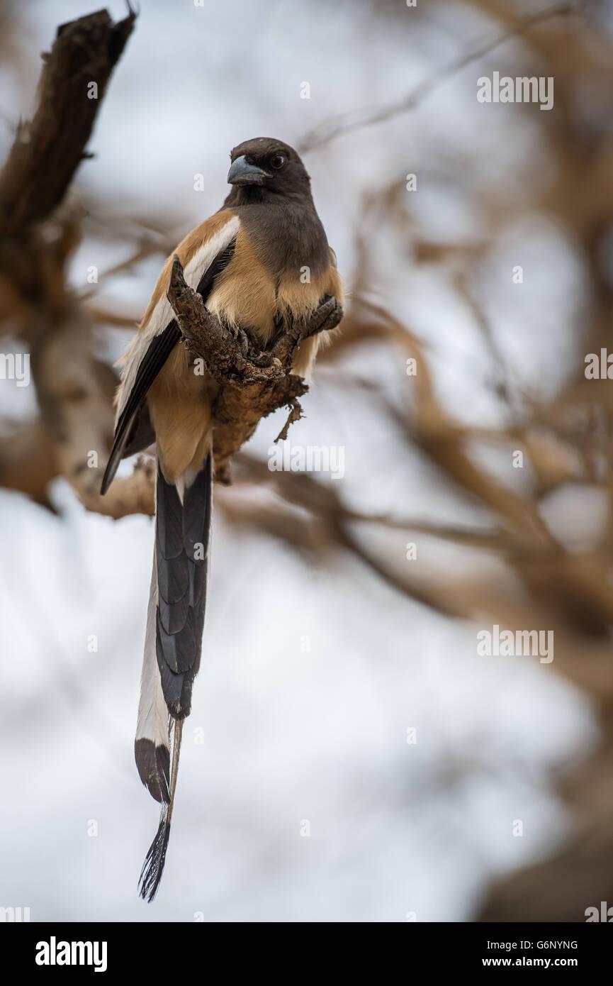 Rufous baumartig, Dendrocitta Vagabunda, Rabenvögel, Ranthambore Nationalpark, Indien, Asien Stockbild