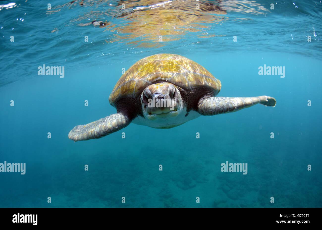 Grüne Schildkröte auf Teneriffa Stockbild