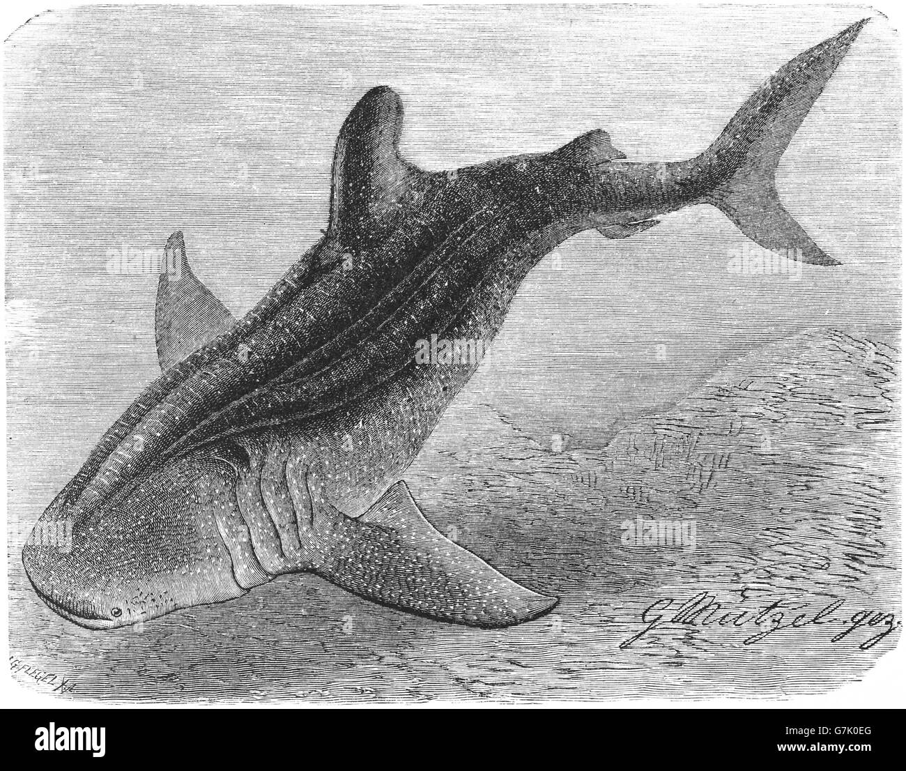 Shark Drawing Stockfotos & Shark Drawing Bilder - Alamy