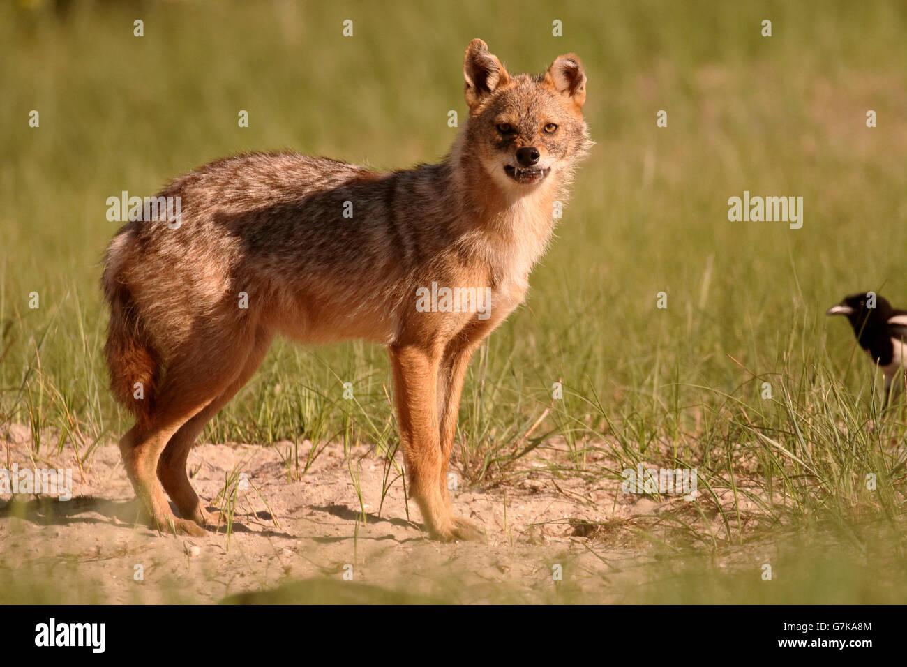 Europäische Schakal, Canis Aureus Moreoticus, einziges Säugetier auf Rasen, Rumänien, Juni 2016 Stockfoto