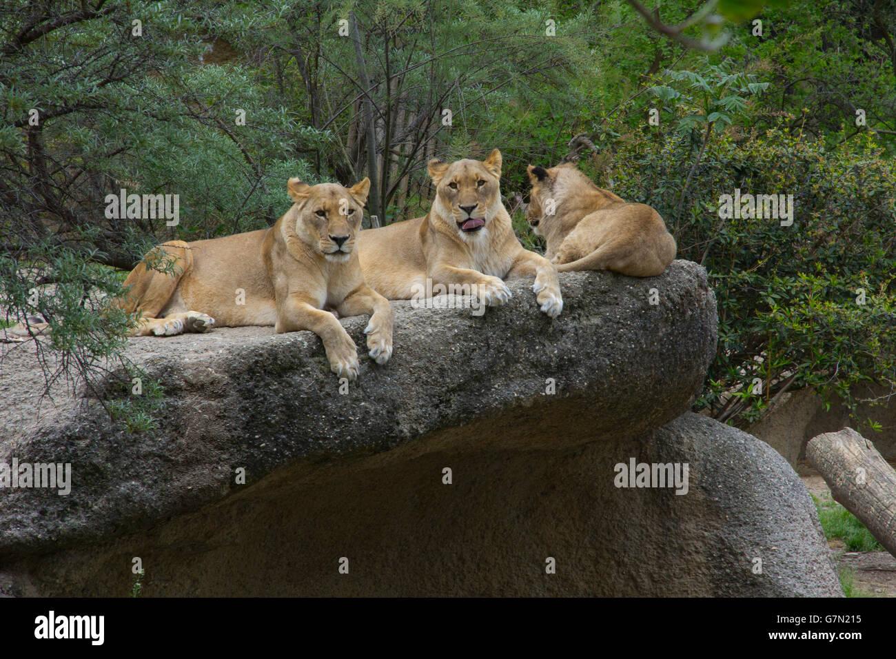 Taronga New Big Cat Enclosure
