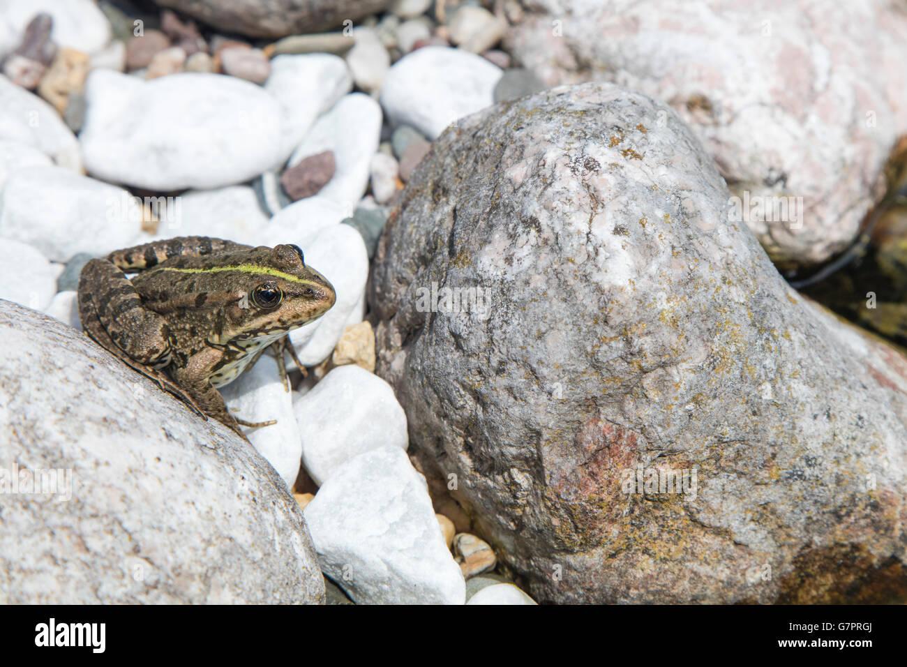 Detail der Europäischen Frosch auf einem abgerundeten Flussstein an einem sonnigen Tag Stockfoto